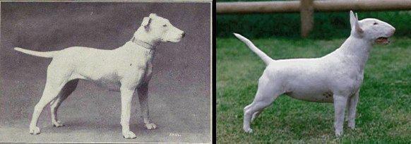 bull-terrier-1915-vs-2014